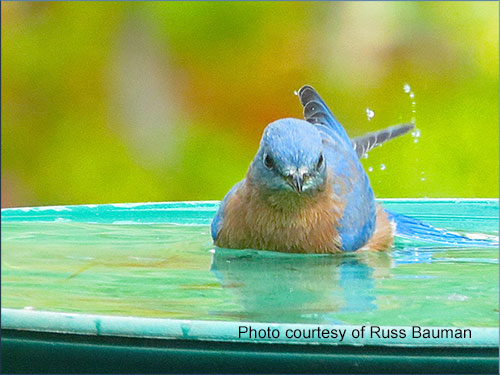bluebird-in-pool