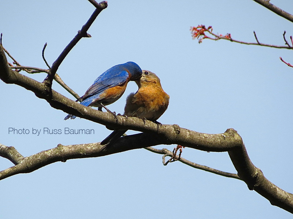 bluebirds-valentines-day