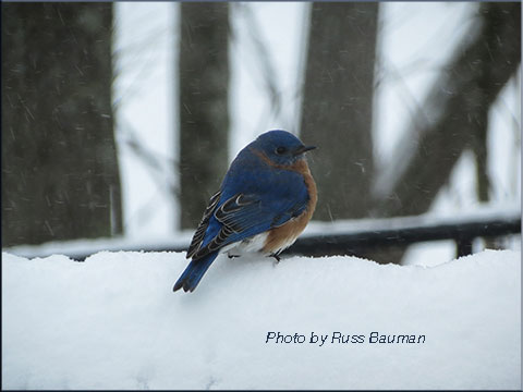photo of bluebird in snow