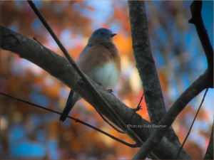 bluebird-in-autumn