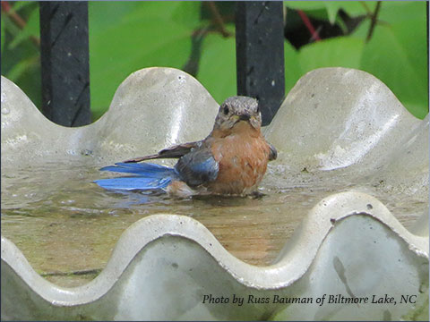 bluebird-in-bath