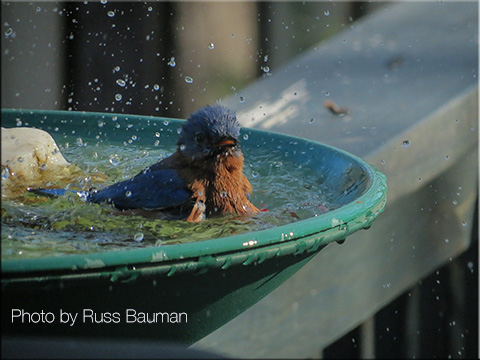bluebird-splashing