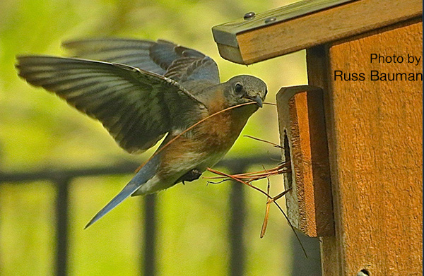 bluebird-taking-pine-needles-2-nestbox