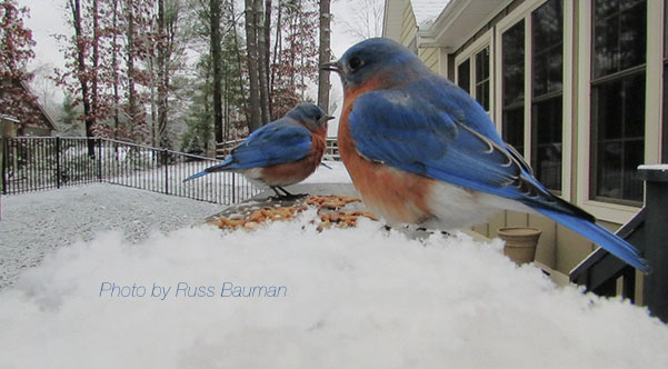 blue-birds-in-snow