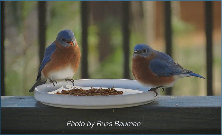 bluebird-food