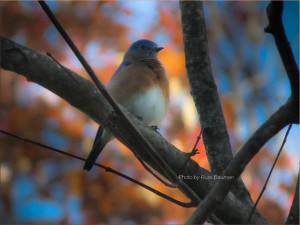 bluebird-in-autumn