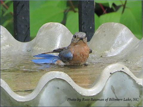 bluebird-in-bath