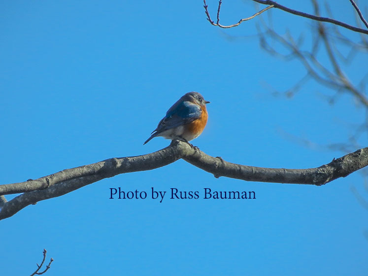bluebird-on-tree-branch