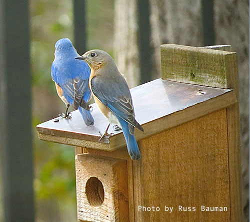 bluebirds-on-nestbox