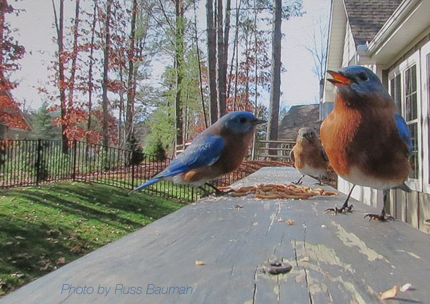 food-for-bluebirds