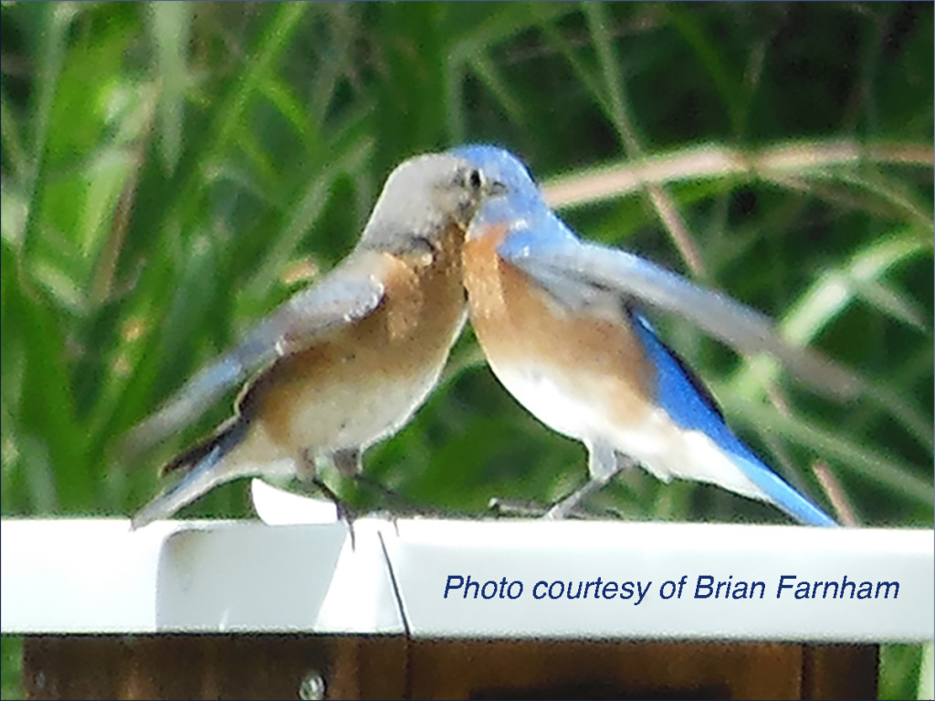 two-bluebirds