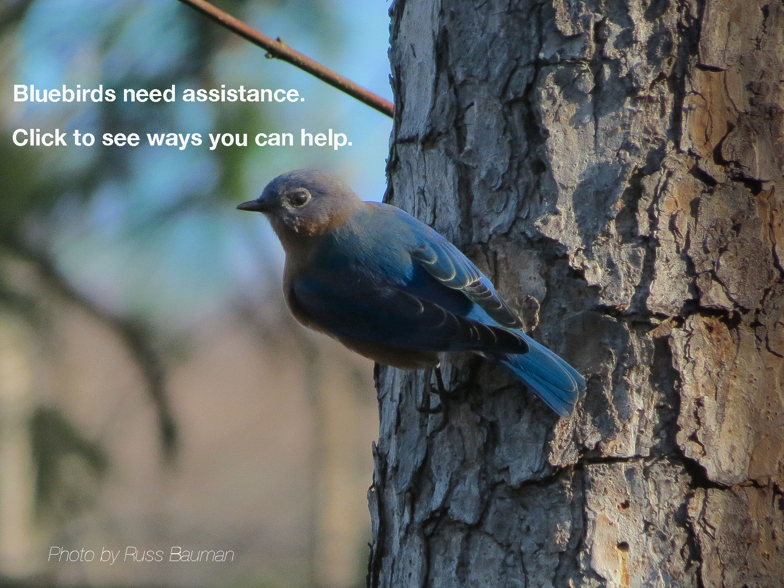 north carolina bluebird society