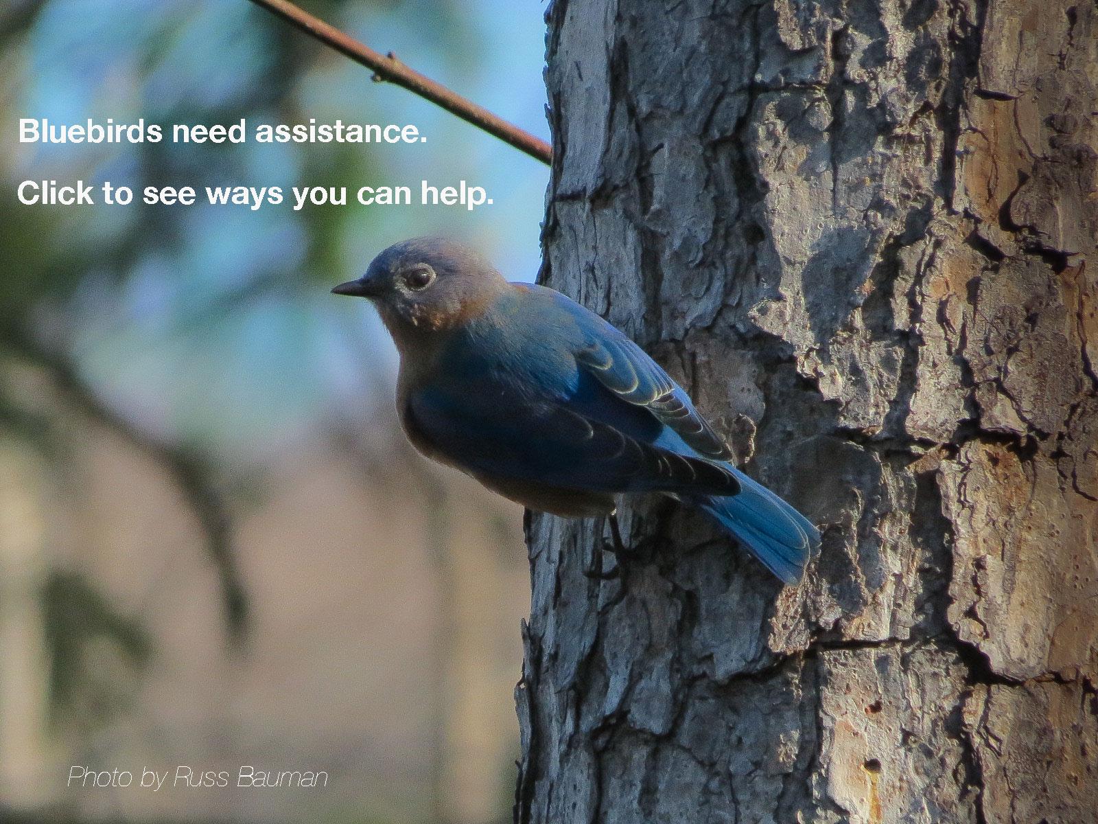 Gift Memberships | North Carolina Bluebird Society